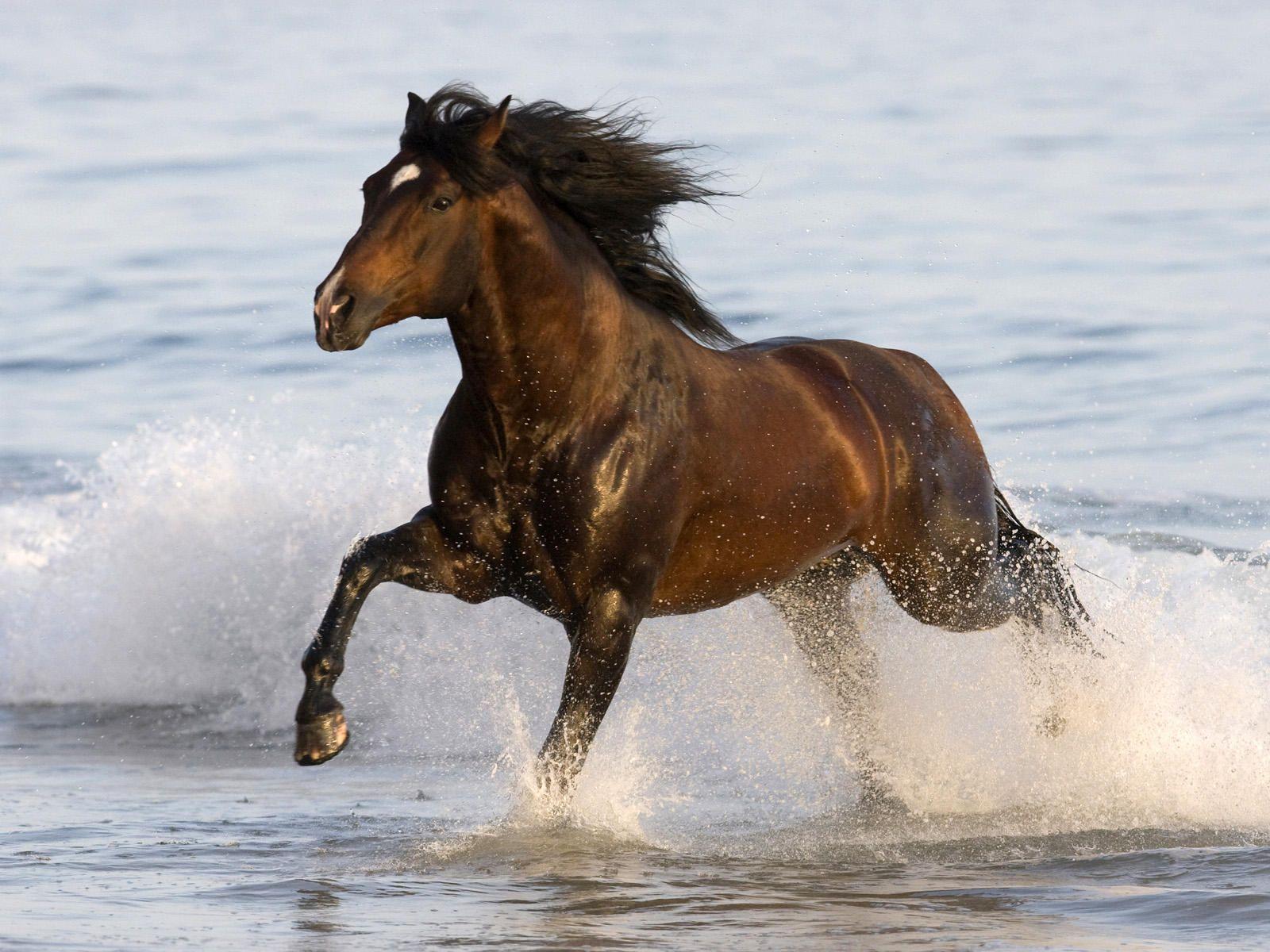 Bay Azteca Stallion 馬 動物 駿馬