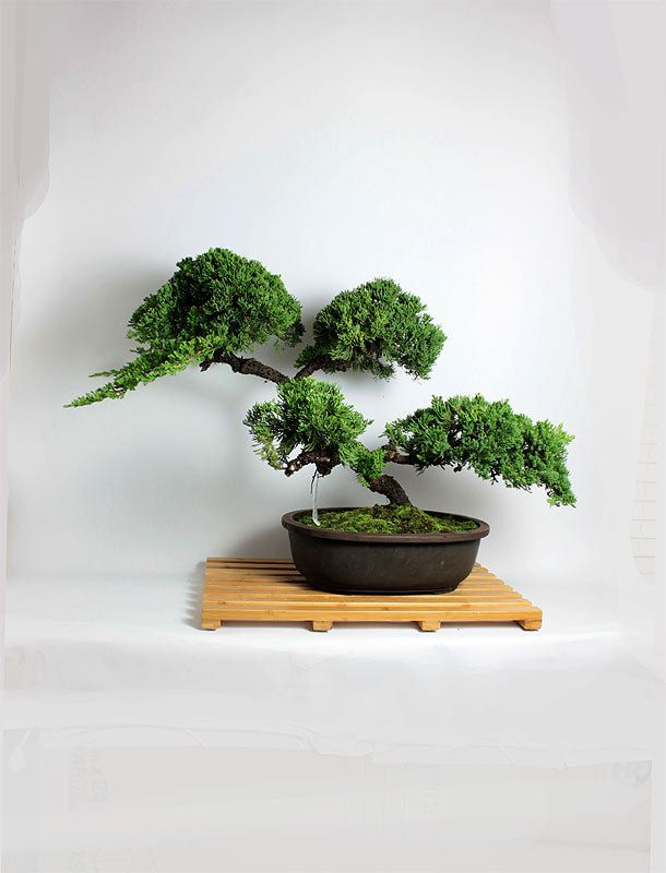 Juniper Procumbens Nana Bonsai Tree From The Estate Of Hirobumi Aso Bonsai Tree Mame Bonsai Bonsai