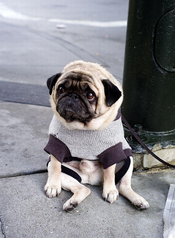 Saddest Pug In The World Awww Carlin Chien Carlin Chiots Carlins