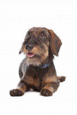 Stock Photo Wire Haired Dachshund Weenie Dogs Dachshund Puppies