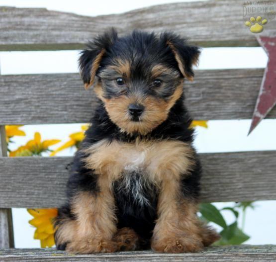Cutencuddly Mansbestfriend Puppylove Yorkshireterrier