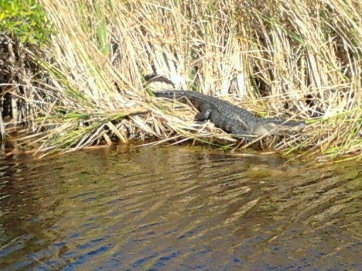 Gators, panthers & pythons. Manatees, dolphins & sunsets. Florida Everglades, West Coast