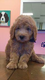Murphy F1b Cafe Au Lait Medium Sized Goldendoodle Goldendoodles Doodles Labradoodles Puppies Adorable Goldendoodle Goldendoodle Breeders Doodle Dog