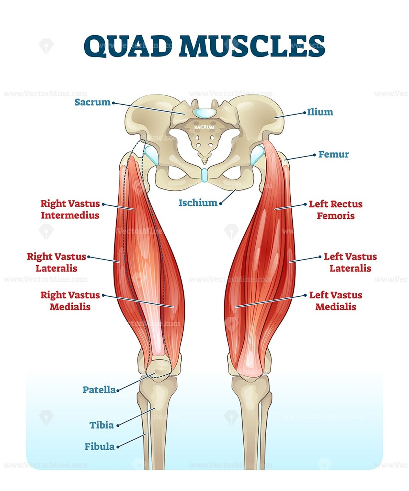 Quad Leg Muscles Anatomy Labeled Diagram In 2020 Leg Muscles Anatomy Muscle Anatomy Leg Muscles
