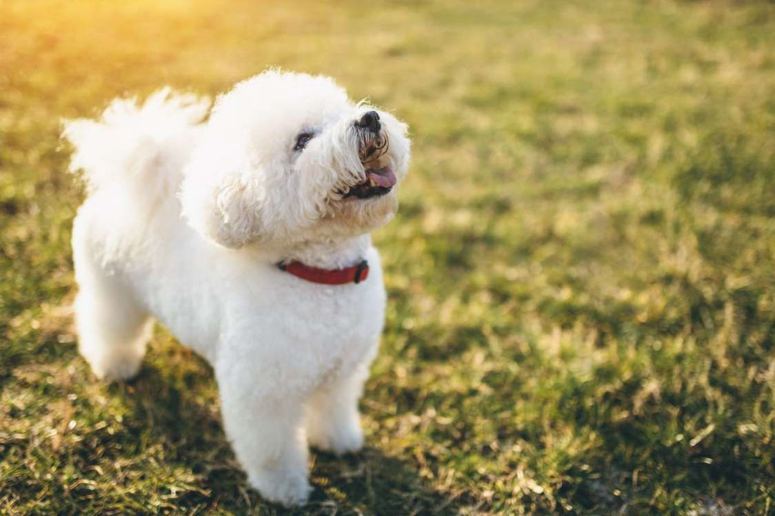 22 Healthiest Dog Breeds With Long Lifespans Dog Breeds