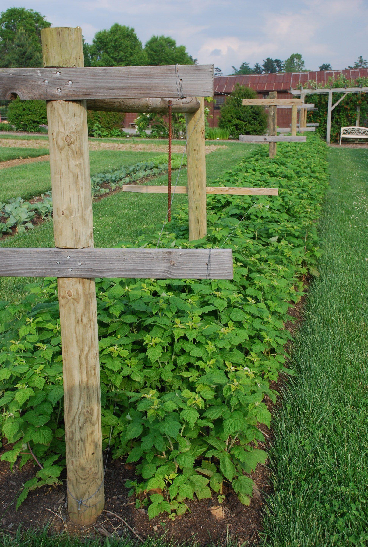 Raspberry Trellis Everbearer Raspberries Harvest From July To