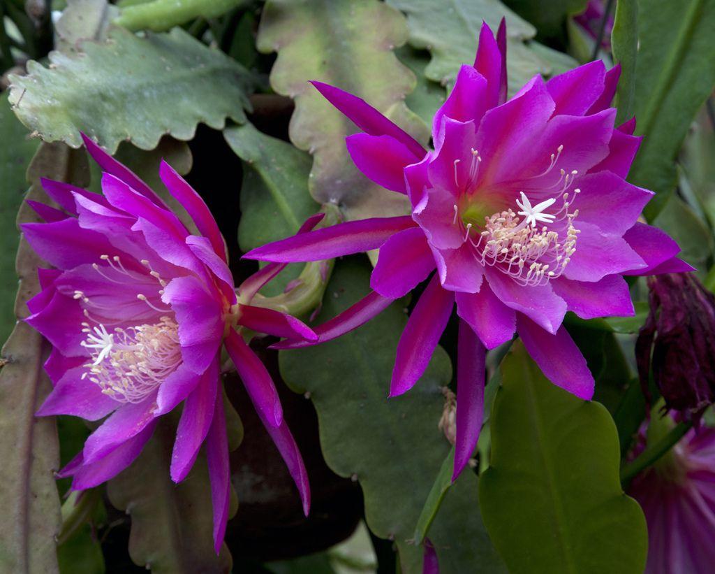 Epiphyllum Purple Haze | von DonCrain