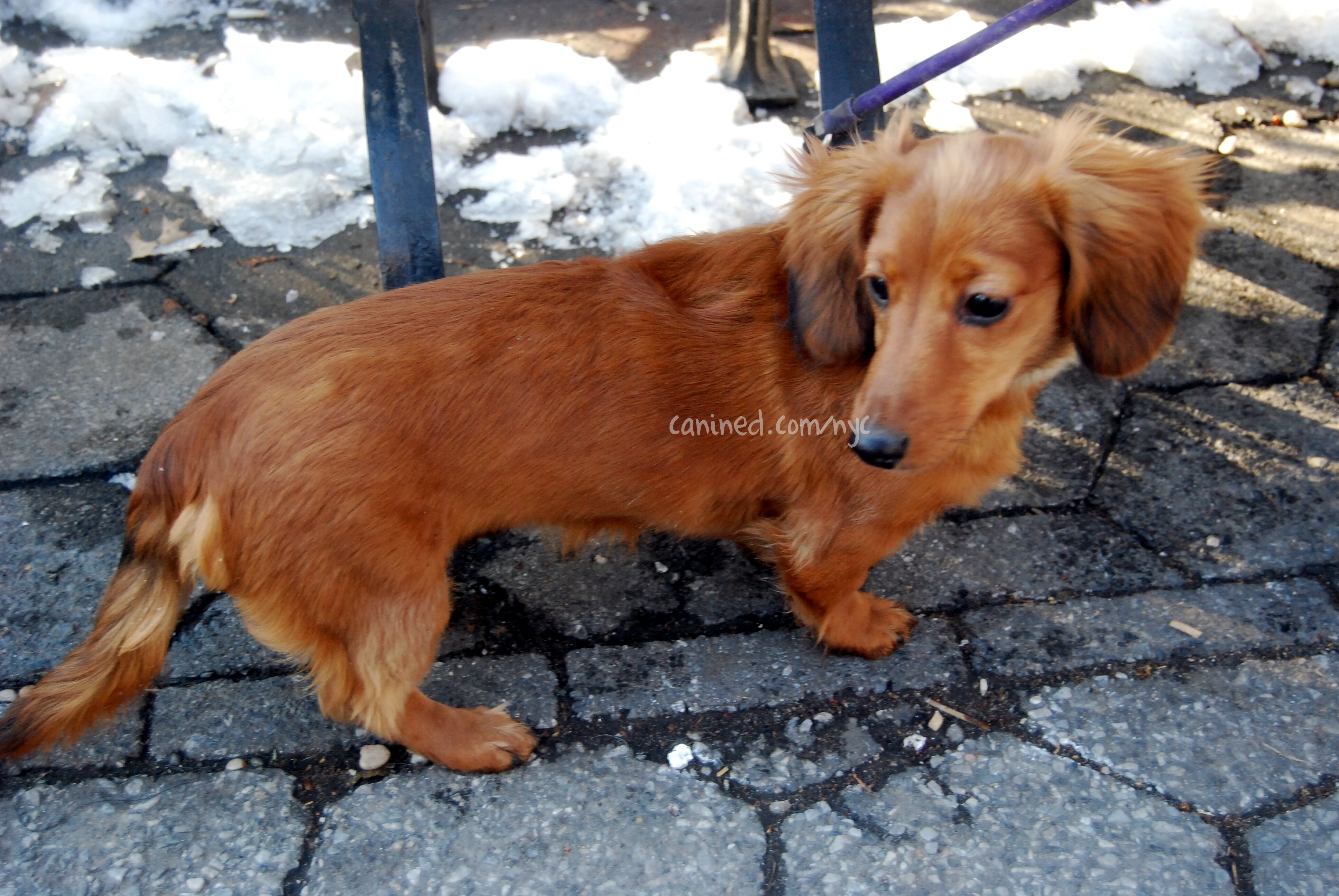 All Sizes 4 Month Old Red Long Haired Dachshund Puppy Downtown