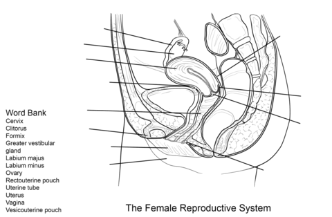 Female Reproductive System Worksheet