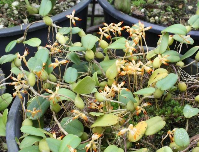 Bulbophyllum chrysendetum