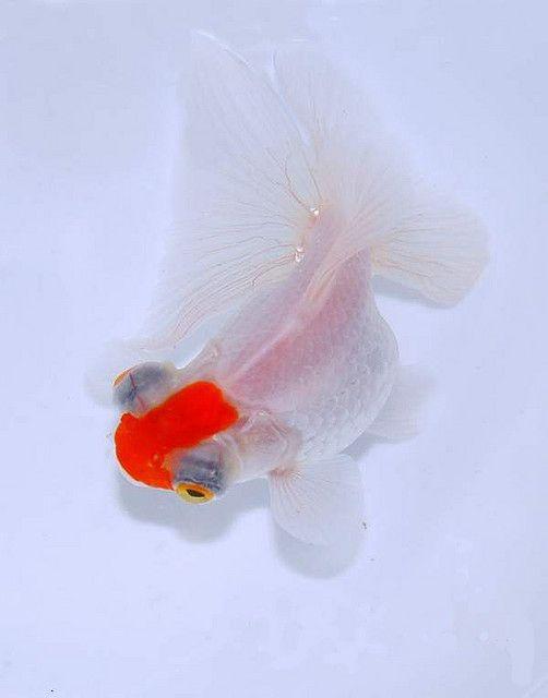 Pin On Aquarium Fish Fancy Goldfish
