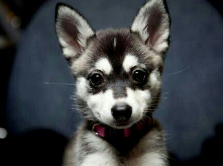 Australian Cattle Dog Mixed With A Husky Cute Animals Alaskan