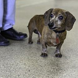 Pin By Terry Gorman On Please Take Us Home Dachshund Dachshund