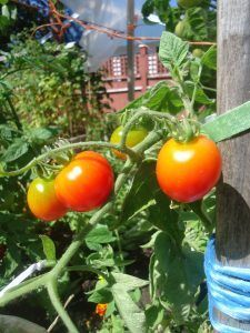 Six Great Tomatoes to Grow