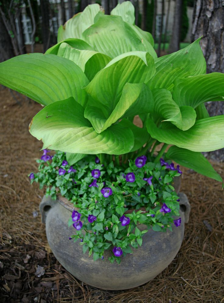 Potted Hosta Violas I Dont Have Good Luck With Hosta But This