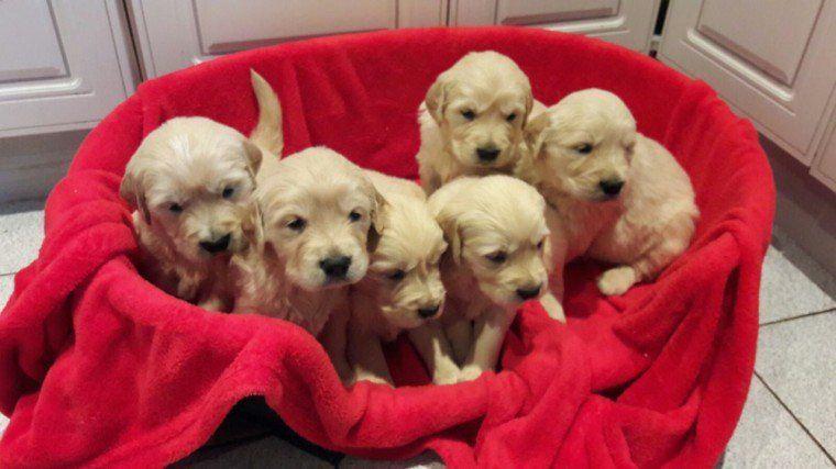 Goldenretrieverpuppieskc Puppies Golden Retriever Puppies