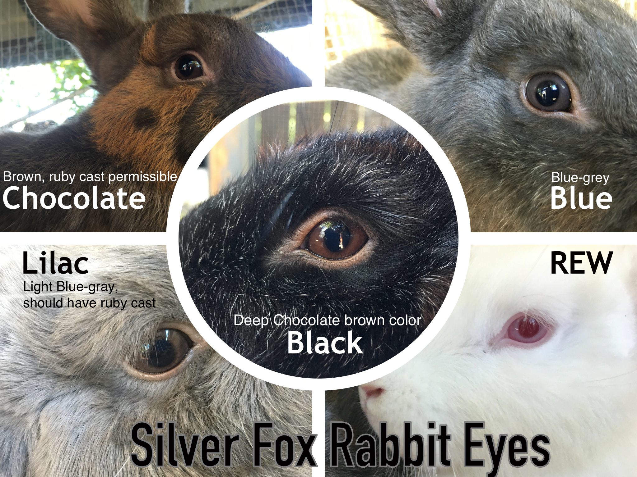 Silver Fox Rabbit Coloring on a budget