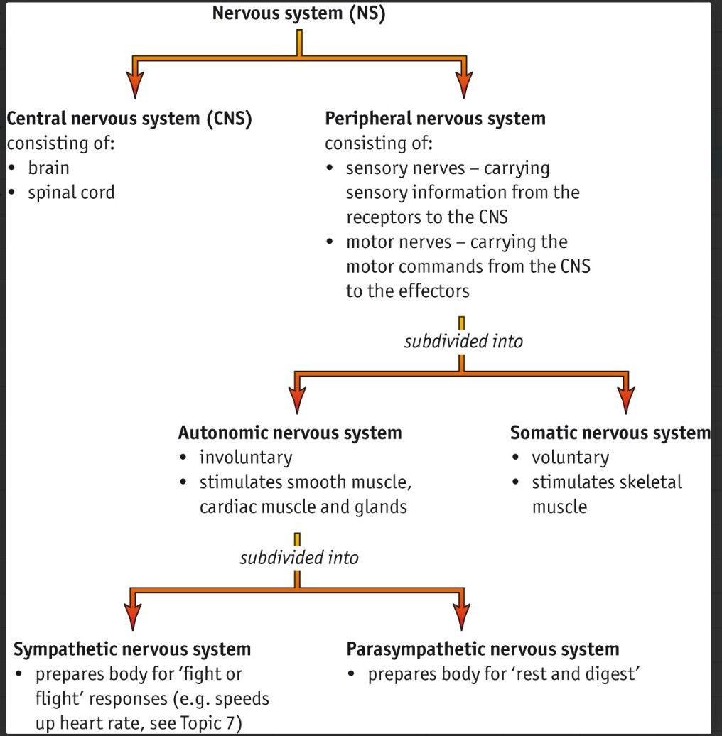 Parts Of The Nervous System Cns Pns Sympathetic Parasympathetic