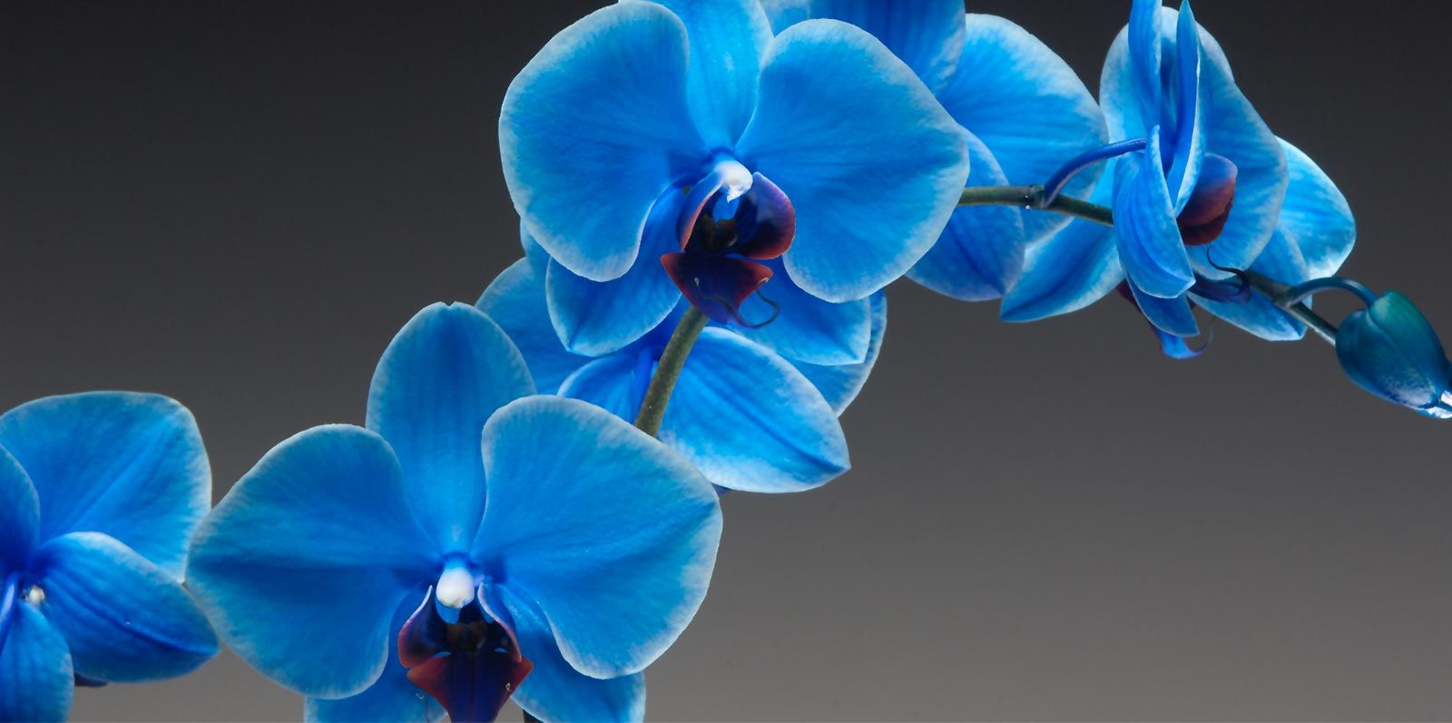 orchids gemstone art ruby sarah img by orchid cymbidium