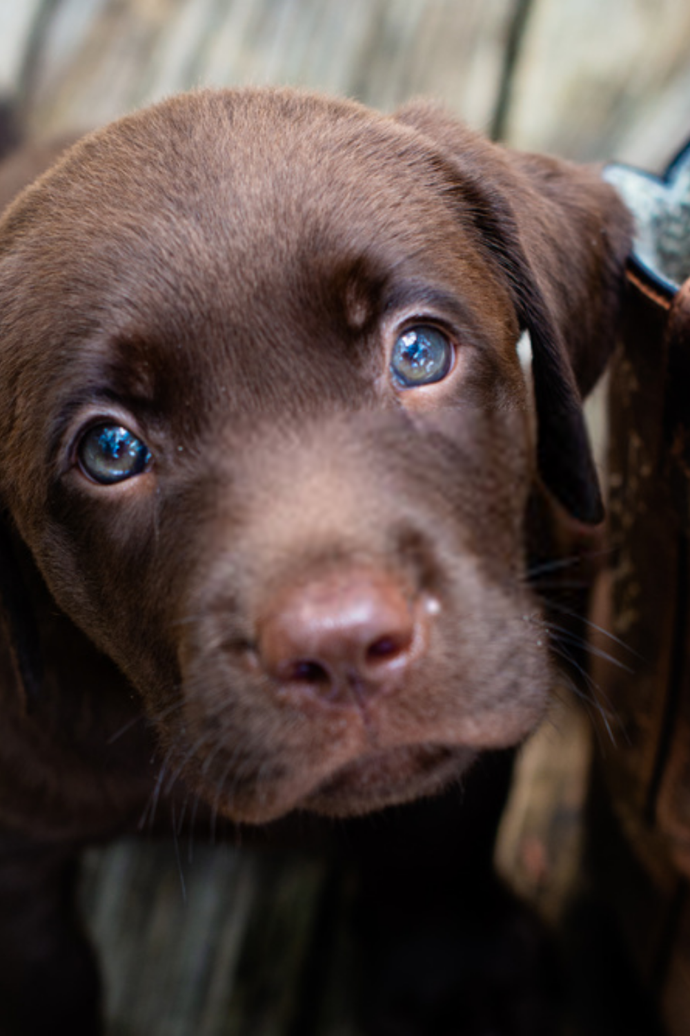 Pin By Karla Hanley On Dogs In 2020 Chocolate Lab Puppies Lab Puppies Labrador