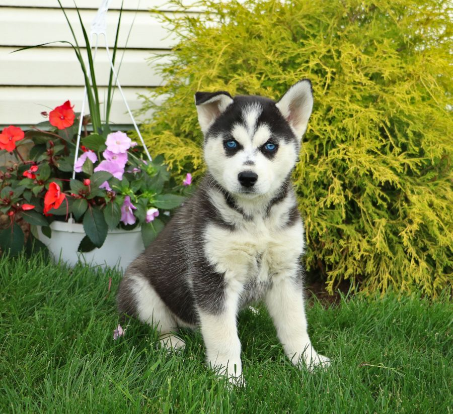 Puppies For Sale Husky Wolf Dog Cute Animals