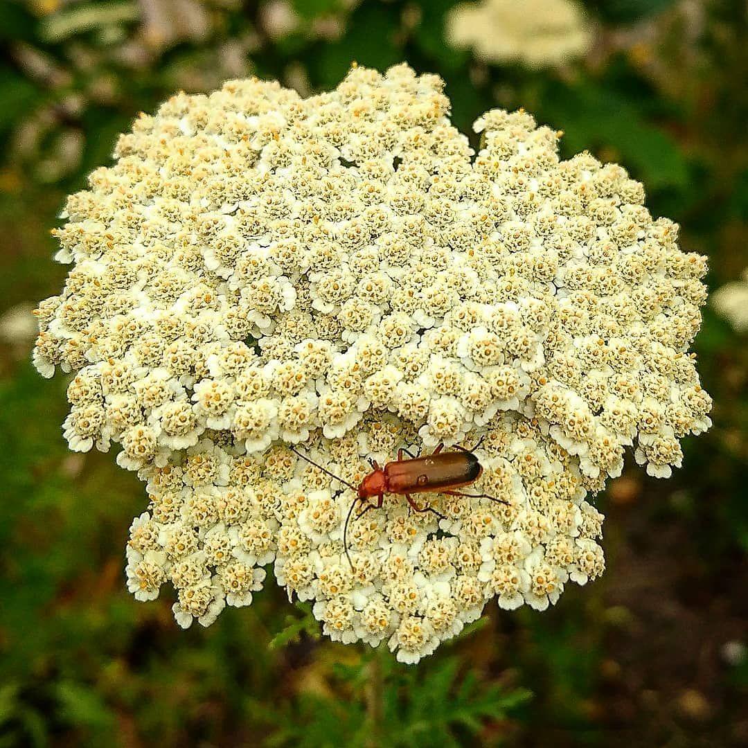 Ein Vorteil Von Weissen Blumen Insekten Leuchten Mir Formlich Entgegen Das Bedeutet Mehr Weisse Blumen Pflanzen Gartenarbeit Pflanzen Wiesenblumen