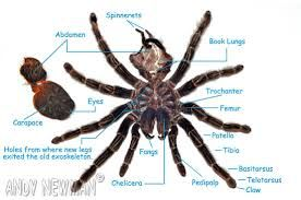 Image result for tarantula anatomy | Spiders, Scorpions & Other ...