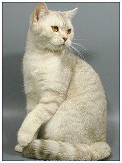 British Shorthair Cat Lilac Silver Shaded American Shorthair