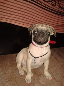 Warm Climate Could Be Fatal On Your Pug - http://weloveourpugs.net/warm-climate-could-be-fatal-on-your-pug/