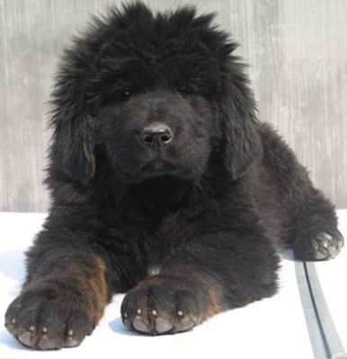 American Kennel Club Tibetan Mastiff Puppy Tibetaanse Mastiff