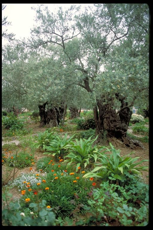 822 Jerusalem Very Ancient Olive Beautiful Tree Fruit Trees Ancient