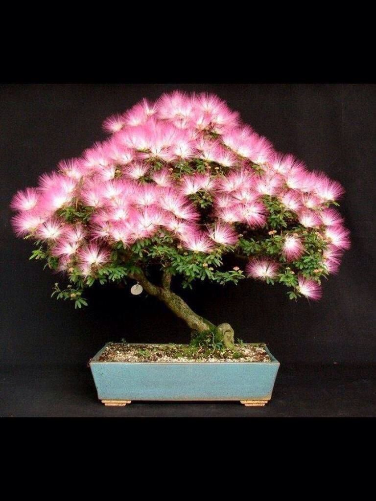 Bilderesultat for persian silk tree