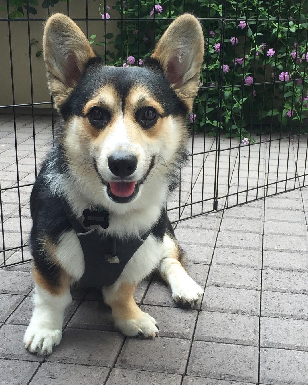 Happy Fuuuuriday Smile Corgi Animals Instagram