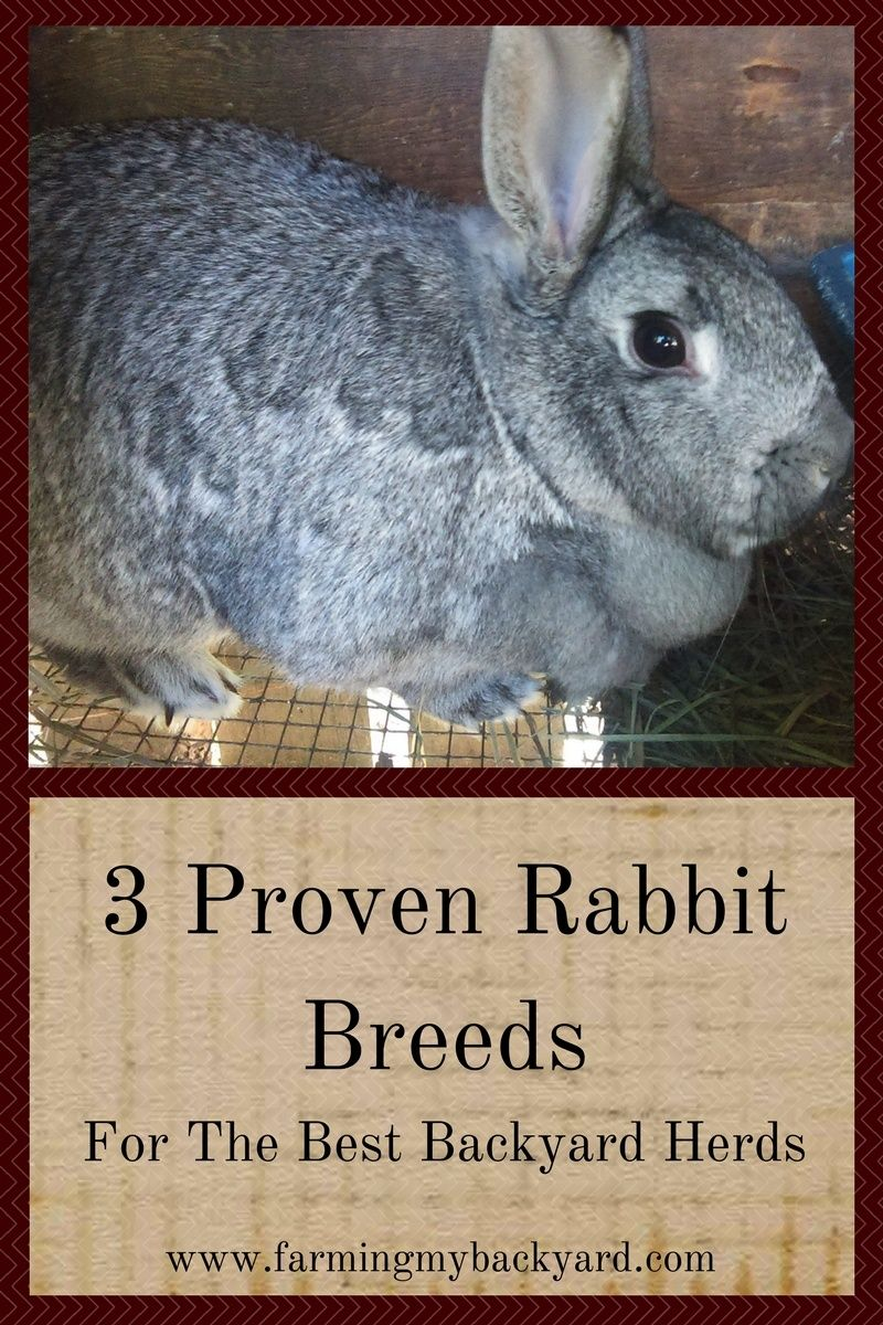 3 proven rabbit breeds for the best backyard herds the o u0027jays