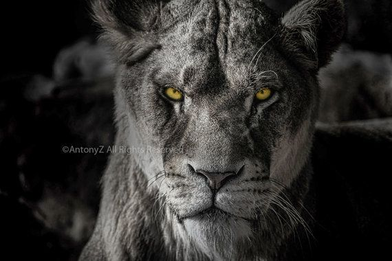 Nature Lion Big Cats Fury Angry Portrait Monochrome: Beautiful Lioness Lion Black And White Portrait 8 X 10 By