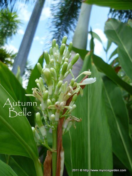 Grow Lengkuas Galangal Or Alpinia Galanga Blue Ginger 南姜 Or 高良姜 Rhizome Nature Plants Planting Flowers