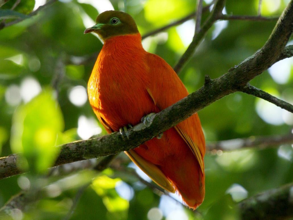 حمامة الفاكهة البرتقالية Ptilinopus victor Bdcfd672edd6c929d4acc8cac43b8051