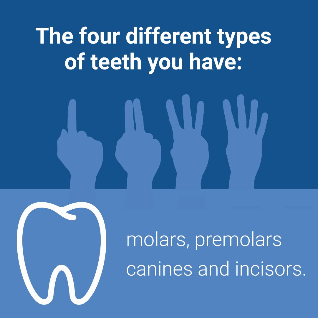 Dental Oralhealth Teeth Molar Premolars Canines Incisors