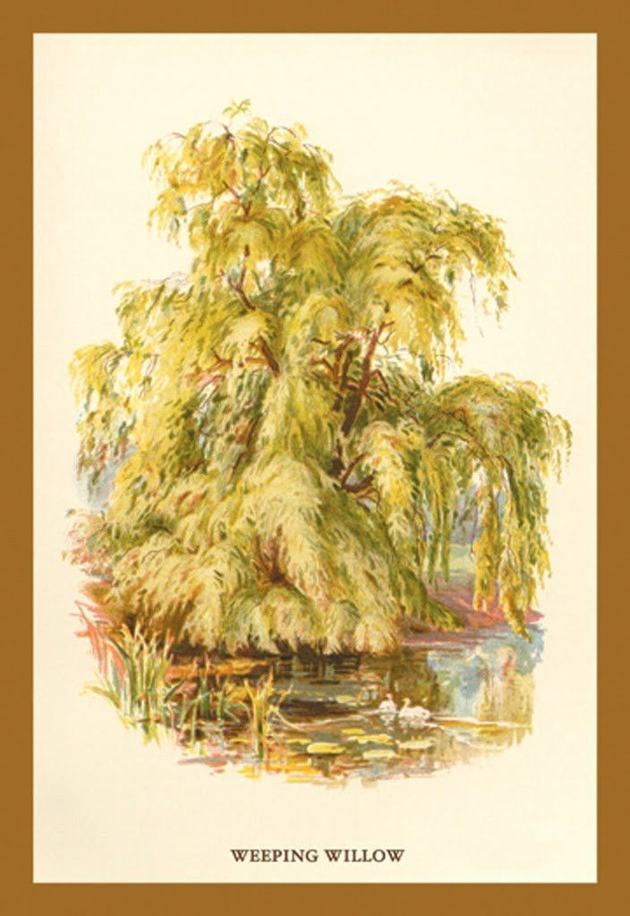 Weeping Willow - Salix Babylonica, by W.H.J. Boot | Products ...
