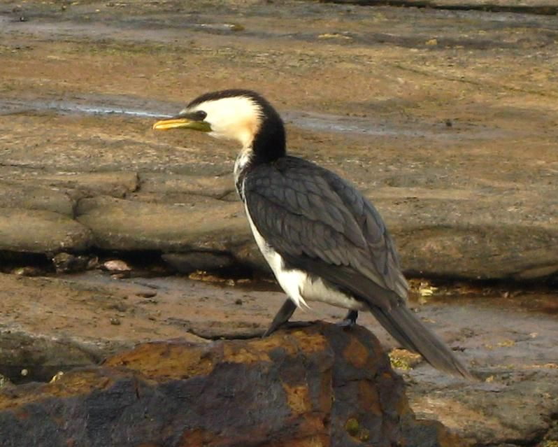 pygmy cormorant microcarbo pygmeus google search birds of the world hamerkop shoebill pelicans boobies cormorants pinterest search