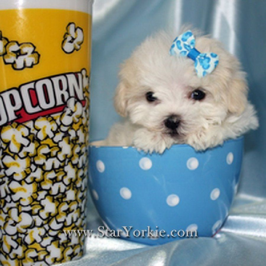 I Had To Take A Second Look But Yes Thats A Real Maltese These Puppies Are Teacup And Are In Los Angeles Ca Teacup Puppies Maltese Teacup Maltese Maltese Puppy