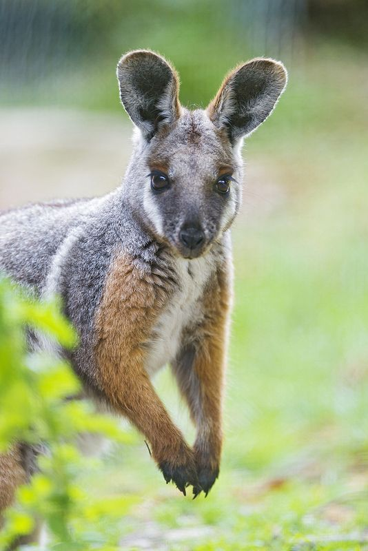 ☀Funny wallaby looking at me! by Tambako the Jaguar *