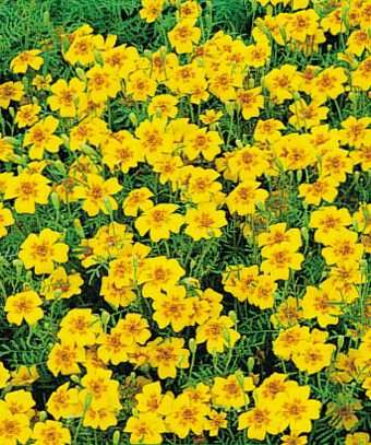 "tagetes ""Golden Gem"""