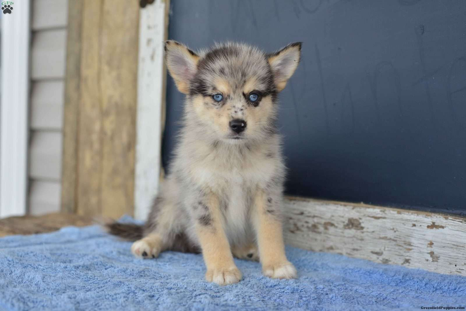 Johnny pomsky puppy for sale in ohio pomsky puppies