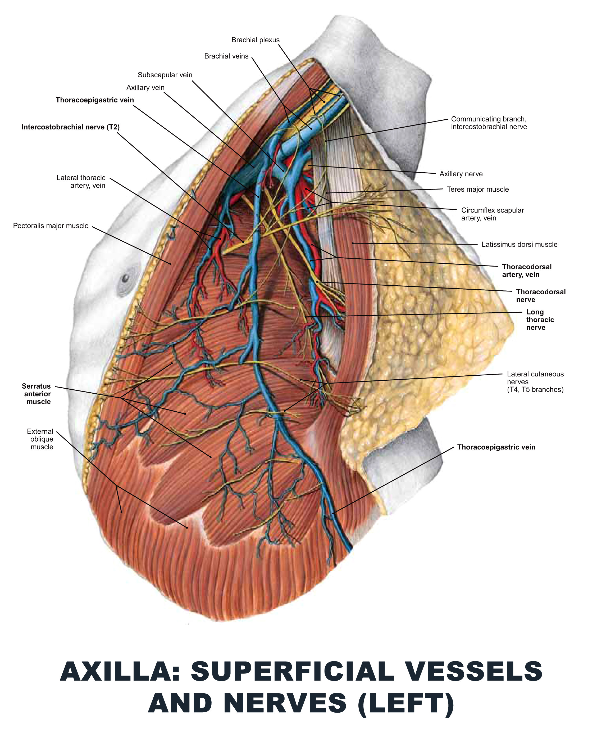 Axilla: Superficial Vessels and Nerves (Left) - #anatomy images ...