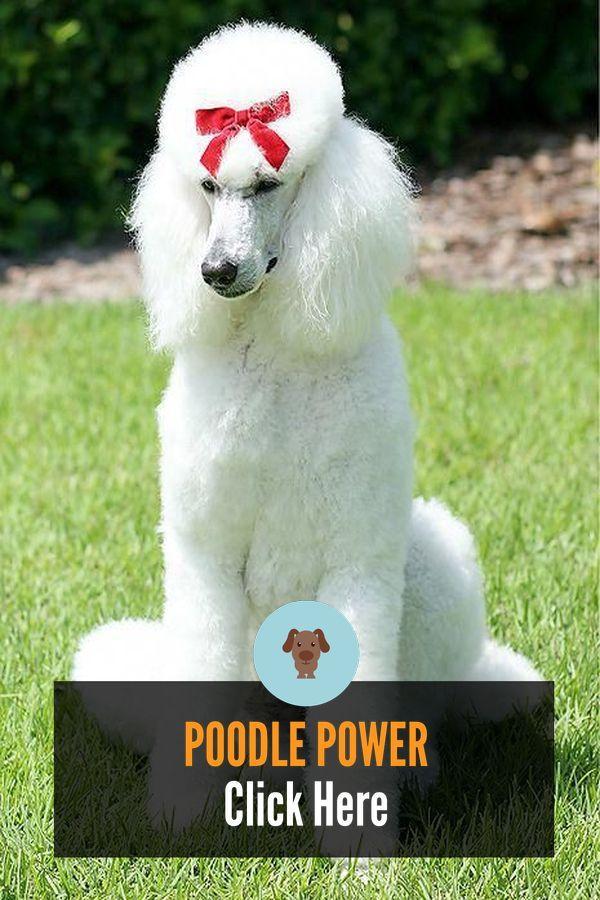 Beautiful Toy Poodle Accessories #poodlepuppy #miniaturepoodlenames
