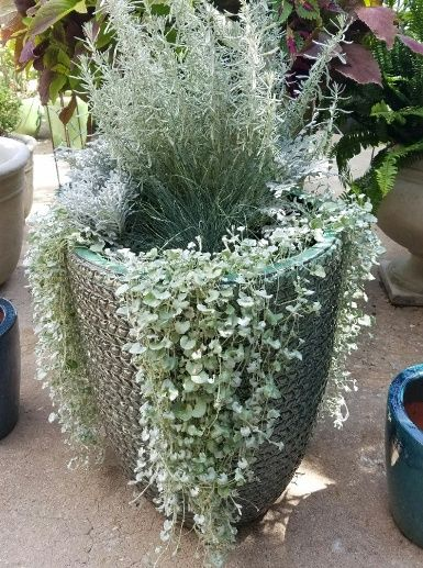 Green mist sisal weave glazed terra cotta pot with silver planting.