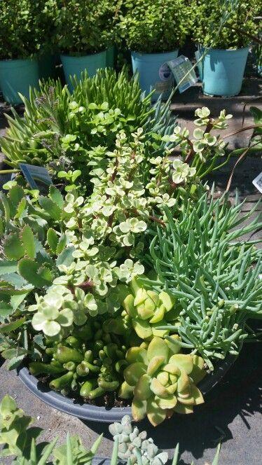 6-succulent design
