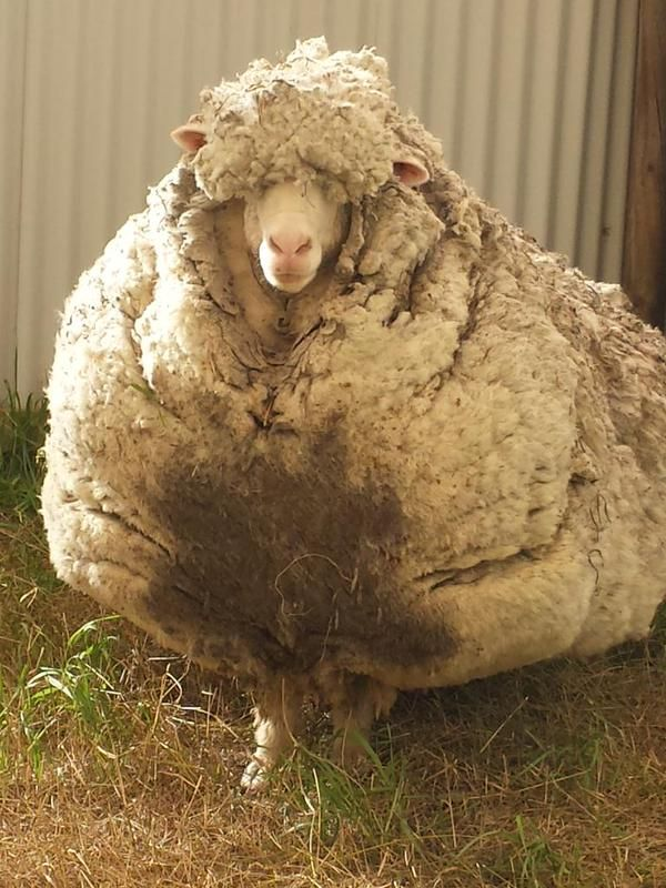 This Poor Wild Sheep Hasn T Been Sheared In 5 Years I Can T Believe How He Looks Now Sheep Sheep And Lamb Merino Sheep