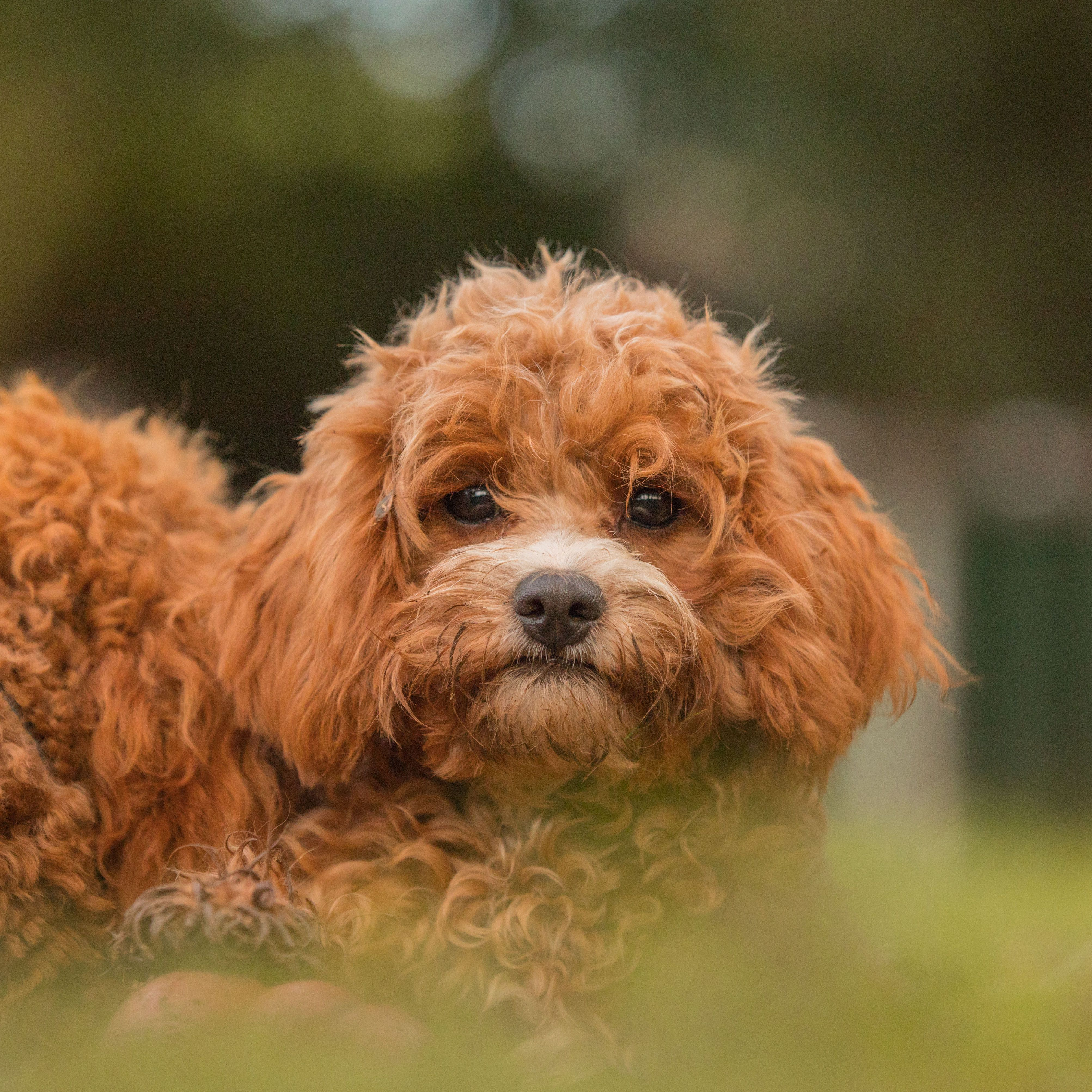 Zaria The Cavoodle Puppy Enjoying Some Down Time In Between Her